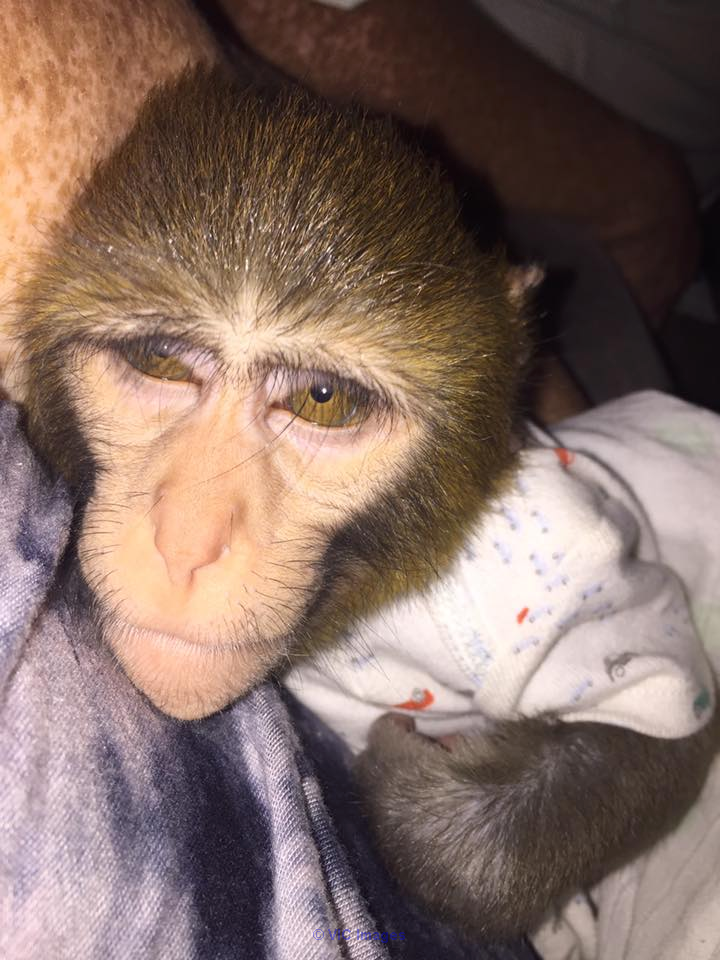 MAGNIFICENT BABY MONKEY AVAILABLE FOR ADOPTION mississauga